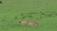 Lioness hunting a lone gnu Stock Footage