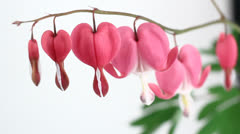 Bleeding Heart Flowers (Lamprocapnos Spectabilis) isolated on white. Stock Footage
