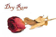 beautiful dry rose - stock illustration