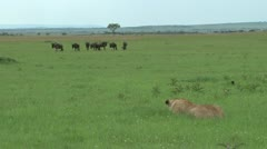 Wildebeests escapes from a hunting lioness Stock Footage