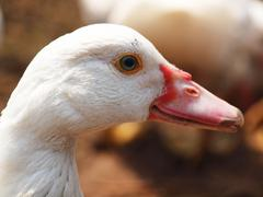 head of duck - stock photo