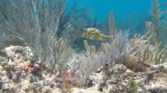 Honeycomb cowfish (Lactophrys polygonius) Stock Footage
