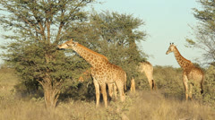 Feeding giraffes, African wildlife, South Africa Stock Footage