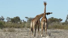 Two giraffe bulls (Giraffa camelopardalis) fighting, South Africa Stock Footage