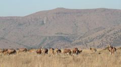 Grazing blesbok antelopes Stock Footage