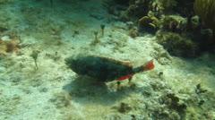 Red Banded Parrotfish (Sparisoma aurofrenatum) Stock Footage
