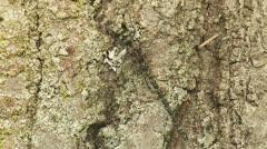 Harlequin Darner (Gomphaeschna furcillata) Dragonfly - Male 1 Stock Footage