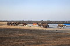 Indian herd spend a day at seaside Stock Photos