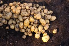 yukon gold potatoes - stock photo