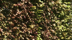 Beech hedge (Fagus sylvatica) - full screen Stock Footage