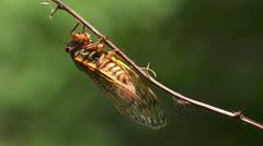 Brood II 17-year periodical cicadas (Magicicada septendecim) 9 - stock footage