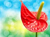 Stock Photo of anthurium flower