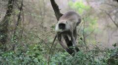 India Ranthambhore safari monkey eating Stock Footage