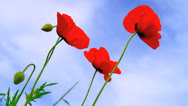 Poppies field. Stock Footage