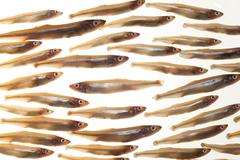 arrangement of small fish smelts against the flow - stock photo
