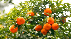 Branches with the fruits of the tangerine trees - stock footage