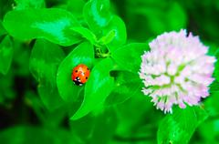 Lady bug and blossoming clover Stock Photos
