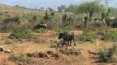 India Ranthambhore village cow  Stock Footage