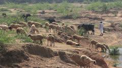 India village sheep near Ranthambhore  Stock Footage
