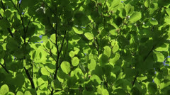 Green leaves of Beech (Fagus sylvatica) - full screen Stock Footage