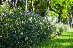 purple hygrophila hochr - stock photo
