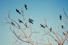 group of crows sitting on the bare branches - stock photo