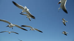 laughing gulls flying in clear blue sky, birds, seagulls - stock footage