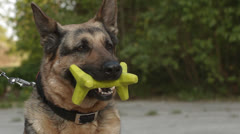 A German Shepherd Dog Stock Footage