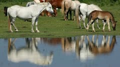 Horses eating on the field of grass Stock Footage
