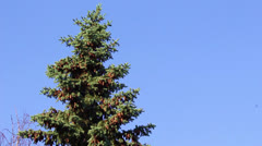 Bird on a green fur-tree Stock Footage