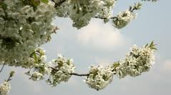 Cherry tree in full flower Stock Footage