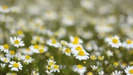 Stock Video Footage of Chamomile