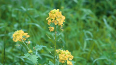 Yellow flowers of winter cress Stock Footage
