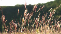 Stock Video Footage of Feather grass