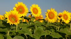 Field of sunflower Stock Footage
