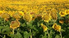 Field of sunflower - stock footage