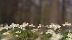 Windflower - Anemone nemorosa Stock Footage