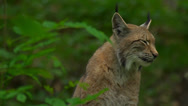 Stock Video Footage of lynx