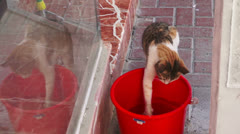 Clever Thirsty Cat drinking water from a red bucket Stock Footage