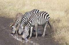 Thirsty Zebras - stock photo
