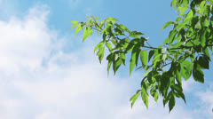 Branch with young green leaves - stock footage