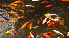 School of Koi Fish in the Pond  Stock Footage