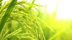 Rice Paddy field Stock Footage