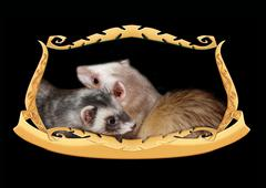 Ferrets in a frame Stock Photos