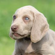 Portrait of weimaraner vorsterhund puppy with amazing eyes Stock Photos