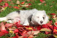 Stock Photo of nice border collie puppy lying in red leaves