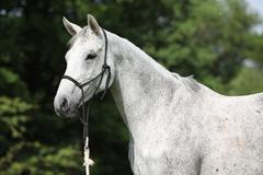 portrait of white english thoroughbred horse - stock photo