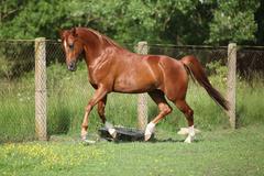 Nice chestnut arabian horse running in paddock Stock Photos