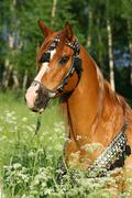 Portrait of chestnut arabian stallion with perfect harness Stock Photos