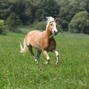 Beautiful chestnut horse with blond mane running in freedom Stock Photos